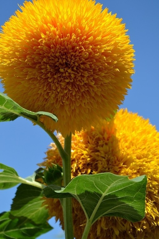Teddy Bear Sunflowers seeds Sunflower seeds Balcony Potted Plants Garden Bonsai Flower seeds Easy to plant10pcs/lot RS61(China (Mainland))