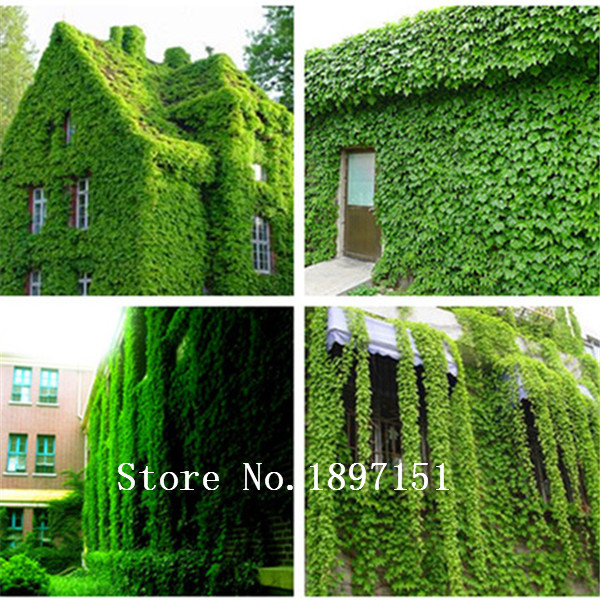 200 Pcs Pack Green Boston Ivy Seeds Ivy Seed For Diy Home Garden Outdoor Plants Seeds Drop