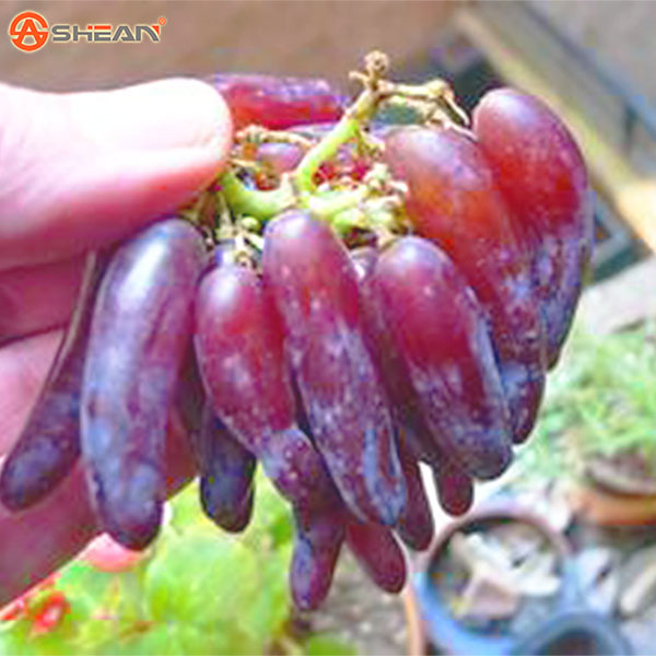 100 Seeds Pack Very Rare Witches Finger Grape Seeds Advanced Fruit Seed Natural Growth Grape Delicious