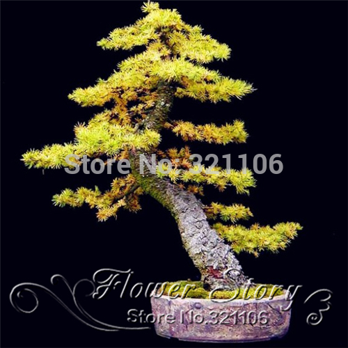 Free Shipping ,35 Piece Golden Five-Leaved Pine Tree Seeds Potted Landscape Five Needle Pine Bonsai Seeds(China (Mainland))