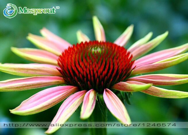 30PCS Echinacea purpurea Hua Xianzi echinacea seeds flower seeds, coneflower bonsai seeds DIY home garden Free shipping(China (Mainland))