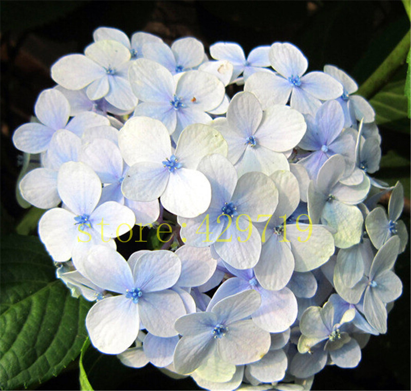 20 PCS Blue Hydrangea Flower seeds,wedding party flower plant rare flower seeds for home garden diy gift for wife(China (Mainland))