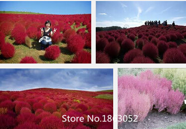 Top Fashion Promotion Summer Seeds Sementes Fd612 Rare Kochia Scoparia Grass Seeds Showy E~z Grow Rapid Exotic Hardy 500pcs Flow(China (Mainland))
