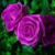 Rose of Sharon Beautiful Purple Rose Colors Flower 150 Seeds Home Decoration  #5749
