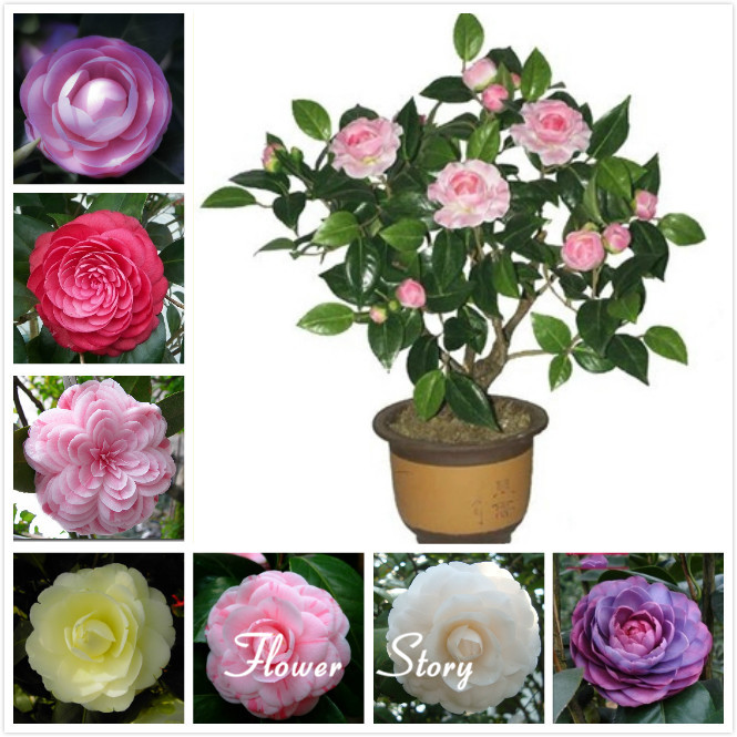 5 Camellia seeds ,potted plants ,DIY Home & Garden Rich Flower Perennial Bonsai - Marseed store