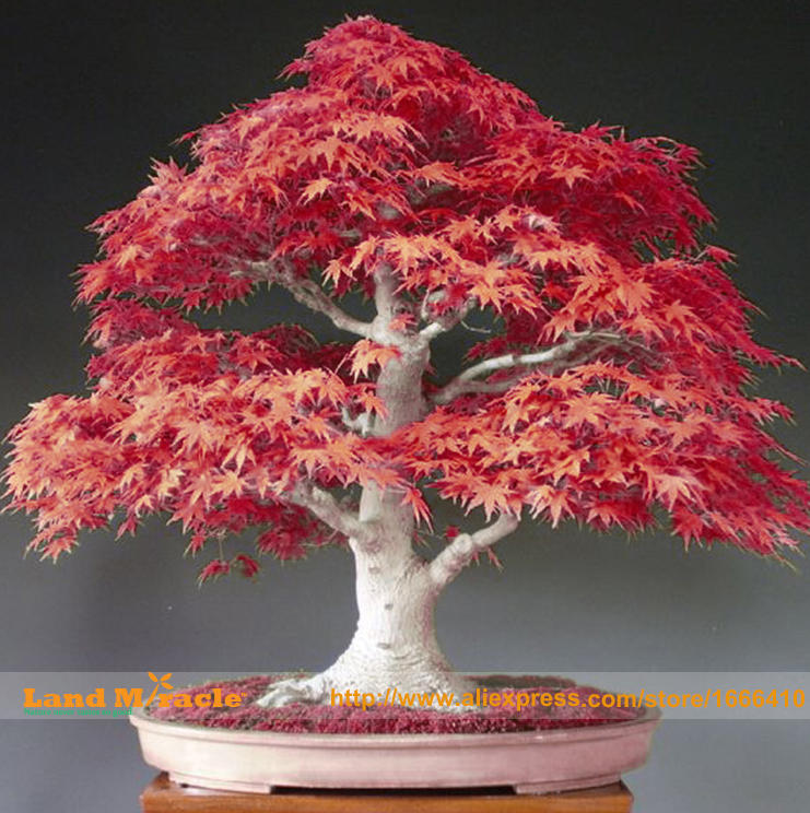 Acer d 39 rable promotion achetez des acer d 39 rable for Bonsai costo