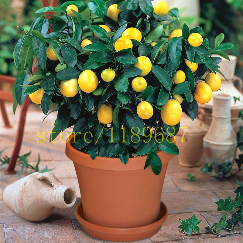 50pcs Lemon Tree Seeds Indoor Fruit Bonsai Plants Citrus Potted Mandarin Orange Seeds Summer Flower Perennial Blooming Plants(China (Mainland))