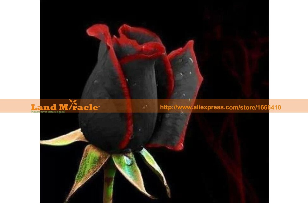 Professional Pack, Beautiful Red-Black 100 Rose Flower Seeds per Pack, Only $2.99 High Survival Land Miracle # M14-11