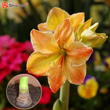 Potted Flowers Rare Amaryllis Bulbs,Hippeastrum Bulbs (they are not Hippeastrum seeds) 21 Colors Available - 3 Bulbs(China (Mainland))
