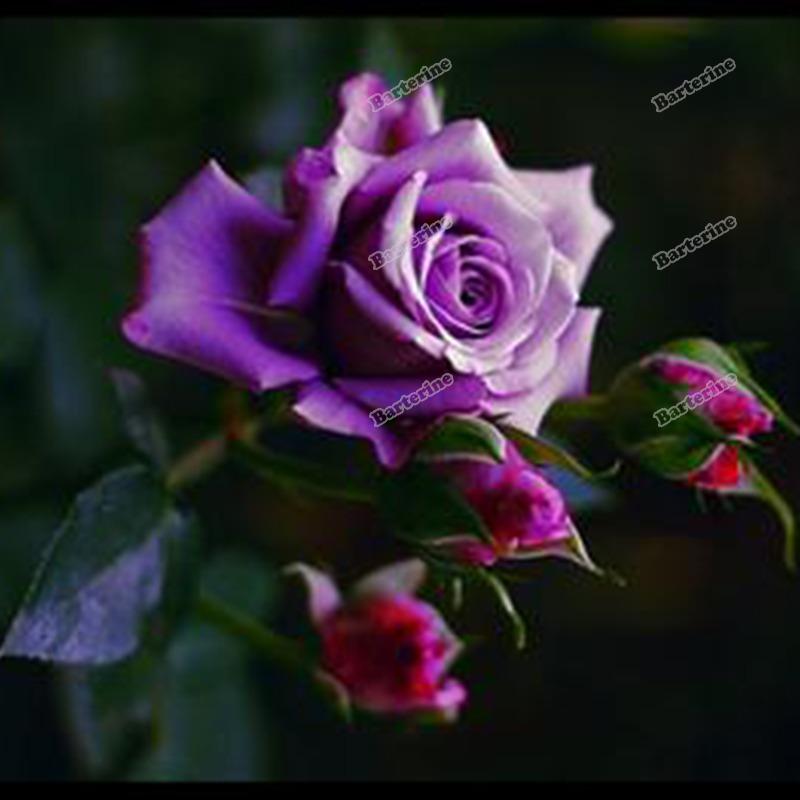 jardim rosas de saron:Imagem 2 de rosa de Saron bonitas rosa roxa flor cores 50 Sementes