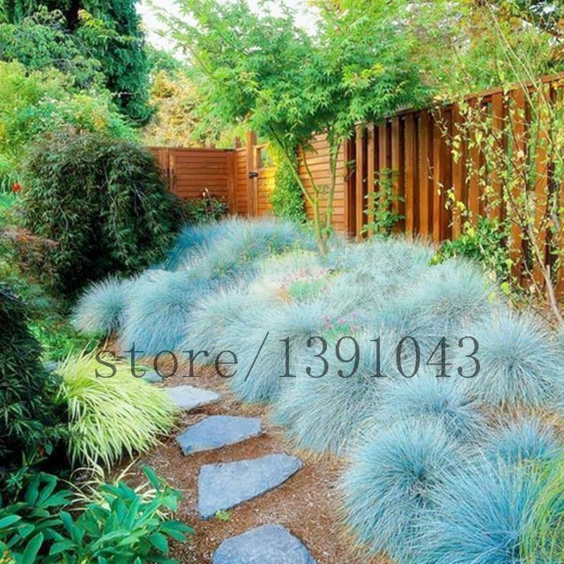 20//50Pcs Garden Balcony Beautiful Bonsai Plants Festuca Glauca Seeds AGSG 01