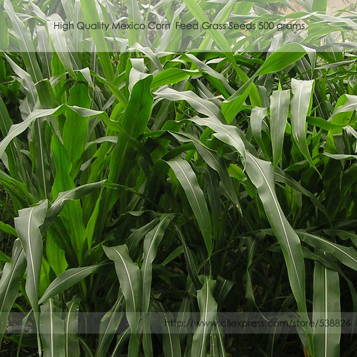 High Quality Feed Hybrid Mexico Corn Grass Seeds, Professional Pack, 500 grams / pack, Annual Herbs #NF844(China (Mainland))