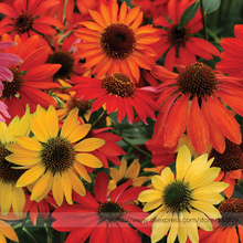 Buy Hardy Perennial Echinacea 'Cheyenne Spirit Mixed' Coneflower Seeds, Professional Pack, 50 Seeds / Pack, Cut Flowers #NF815 for $1.48 in AliExpress store