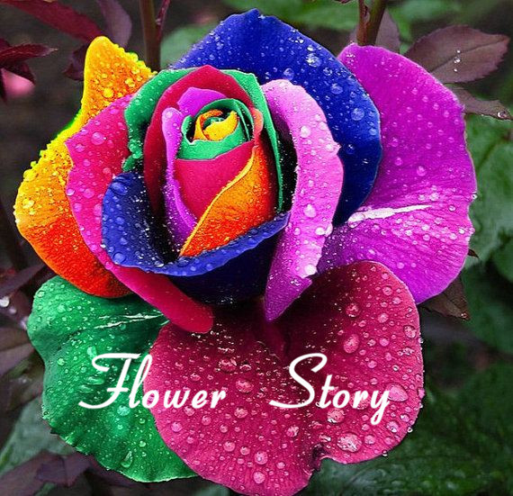 Buy mystic rainbow rose bush flower seeds for Growing rainbow roses from seeds