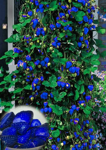 1000pcs Blue Climbing Strawberry seeds, sweet delicious Fruit Seeds For Home & Garden bonsai tree, potted plant, sent rose gift(China (Mainland))