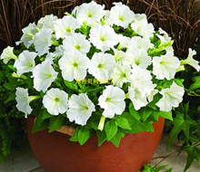 200pcs  Petunia Seeds 2016 Chinese Flower Seeds Bonsai Plants for Garden Free Shipping Home Garden(China (Mainland))