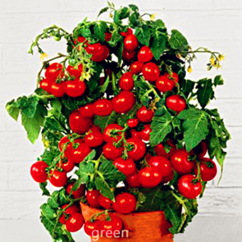 2016 Promotion New Outdoor Plants Garden tomato seed Mini Potted Bonsai Balcony fruit Vegetables seed 100pcs(China (Mainland))