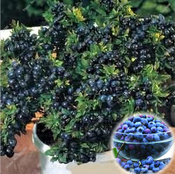 2016 100 seeds / pack Blueberry seeds Bonsai seeds of edible fruit, Interior, available Outdoor(China (Mainland))