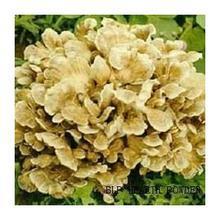 1000g  Grifola frondosa extract 40% Polysaccharides Maitake Mushroom Extract