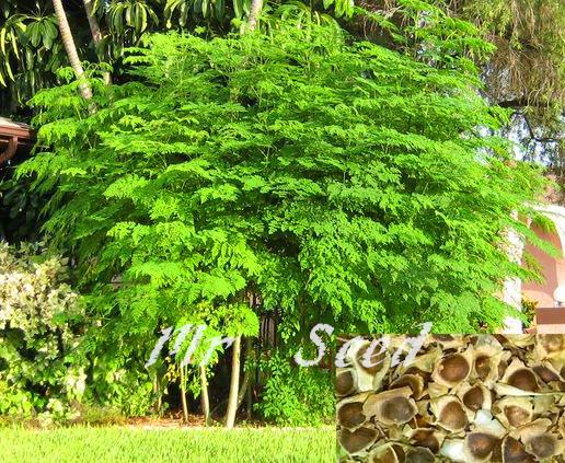 moringa oleifera boom