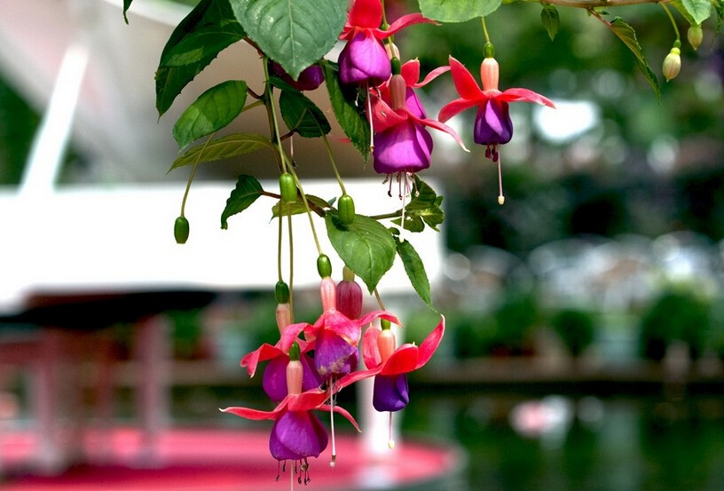 Fuchsia Flower Seeds Lantern Flower Indoor Balcony Bonsai Seed Flowers Sseeds - 120 pcs