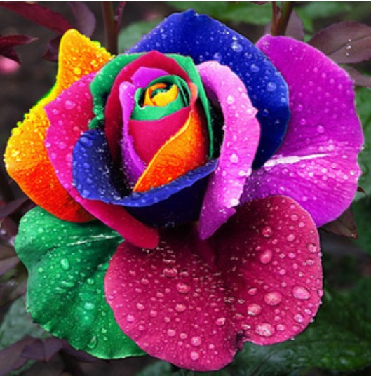 Beautiful Rainbow Rose Seeds Multi-colored Rose seeds Rose Flower Seeds(China (Mainland))