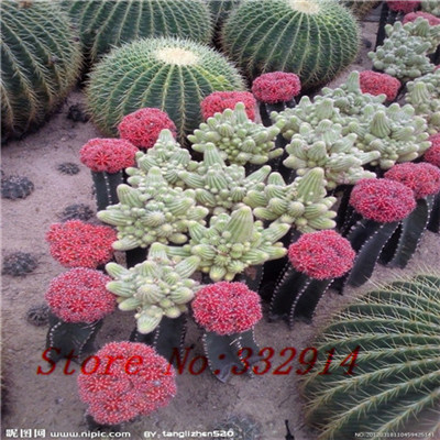 .Opuntia dillenii seeds 1pcs/pack(100 seeds) succulent plants range ball fleshier plant morphological fancy(China (Mainland))