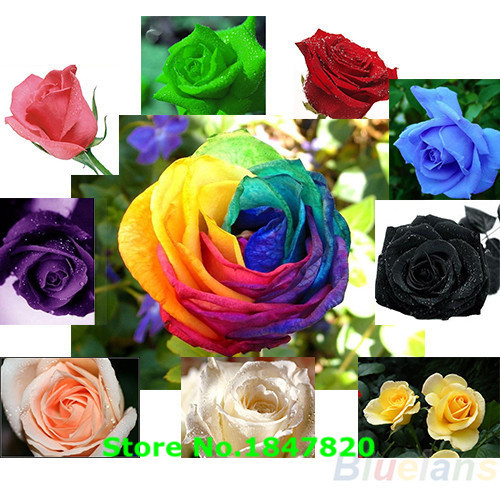 AAA 100pc/lot Rose Seeds Blue Red Purple Pink Black Rainbow Petal Plants Home Garden Flowers Bonsai(China (Mainland))