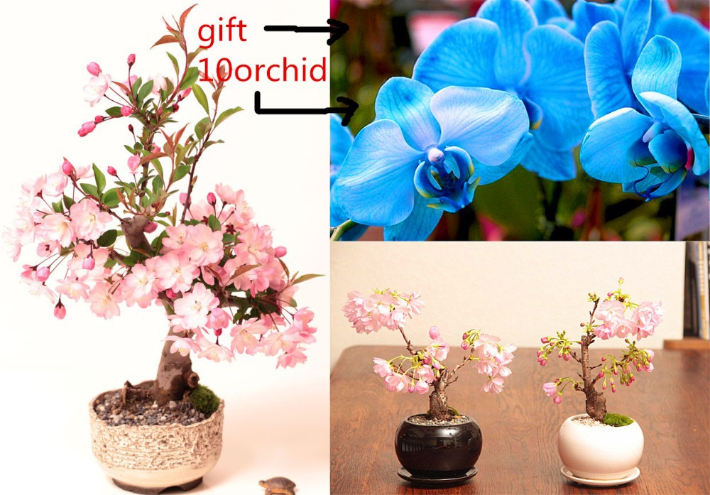 20 pcs pink cherry blossom sakura tree seeds send 10 rare orchid seeds as gift Sementes seeds for flower pot planters(China (Mainland))
