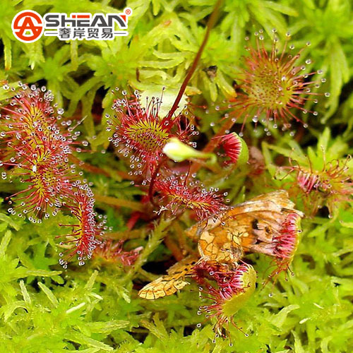 Drosera Peltata Seeds Potted Plant Circular Sundew Carnivorous Plants Garden Seeds 100 Pieces Lot