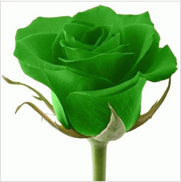 Buy 50pcs green rose seeds beautiful for Buy rainbow rose seeds