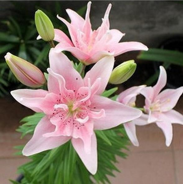 Цветы лилии семена