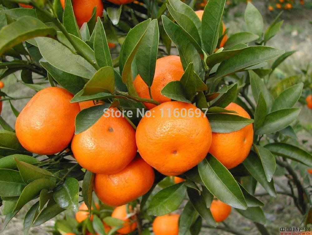 Winsome High Quality Wholesale Landscape Orange From China Landscape  With Remarkable Homegarden Pcslot Fruit Seeds Many Kinds Orange Seeds Case A Jardim  Garden Plants Semillas With Cute Secret Garden Restaurant Edinburgh Also Beth Chatto Gravel Garden In Addition Free Garden Landscaping Plans And Coloured Garden Stones As Well As Gardens Portland Oregon Additionally Gardens To Visit In Somerset From Aliexpresscom With   Remarkable High Quality Wholesale Landscape Orange From China Landscape  With Cute Homegarden Pcslot Fruit Seeds Many Kinds Orange Seeds Case A Jardim  Garden Plants Semillas And Winsome Secret Garden Restaurant Edinburgh Also Beth Chatto Gravel Garden In Addition Free Garden Landscaping Plans From Aliexpresscom