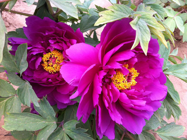 10pc Water Purple Peony Seeds The Most Beautiful And