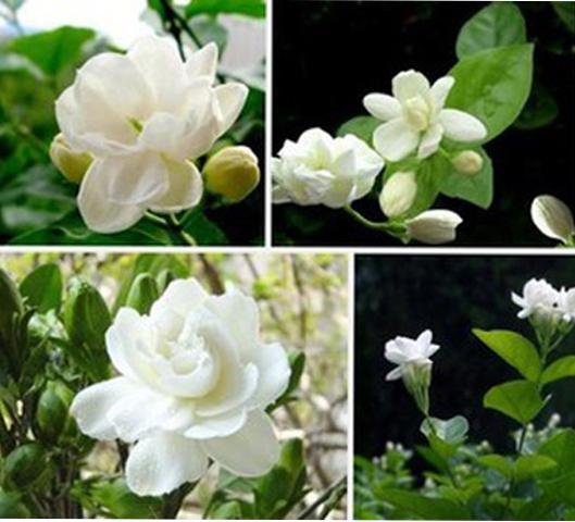 en pot jasmin achetez des lots petit prix en pot jasmin en provenance de fournisseurs chinois. Black Bedroom Furniture Sets. Home Design Ideas