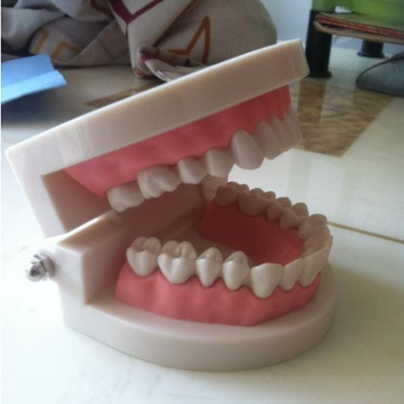 Dentures Dental teaching model tooth model dental teeth model
