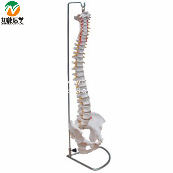 Life-Size vertebral column spine with pelvis model BIX-A1009       <br><br>Aliexpress