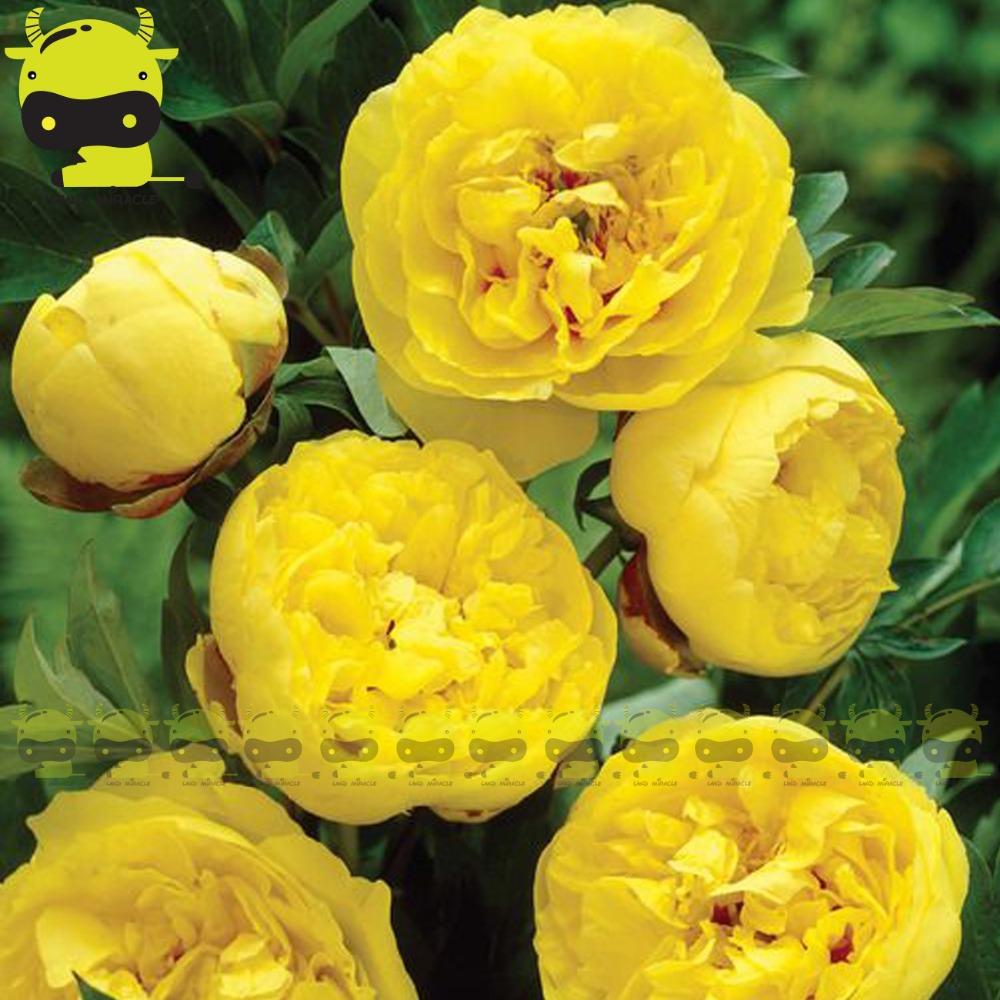 achetez en gros jaune pivoine fleurs en ligne des. Black Bedroom Furniture Sets. Home Design Ideas