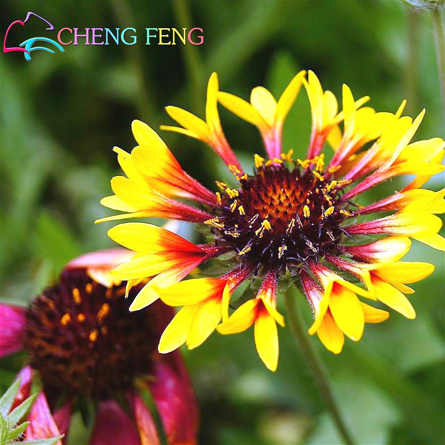 Sale! Free Shipping , Hot Selling ,100 Gaillardia Seeds, Popular Perennial Garden Flower, Gorgeous Cut chrysanthemum Flower(China (Mainland))