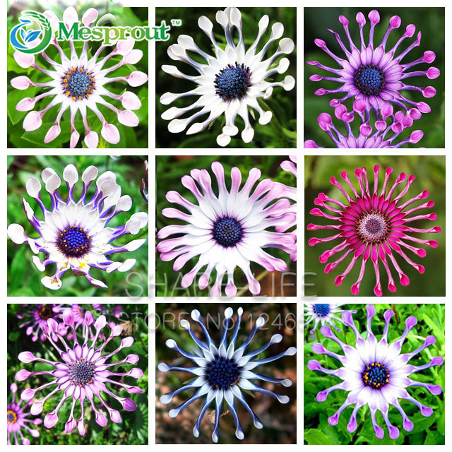 Hot Selling Rare 5 Colors Available Hot Selling 100 PCS Osteospermum Seeds Potted Flowering Plants Blue Daisy Flower Seeds(China (Mainland))