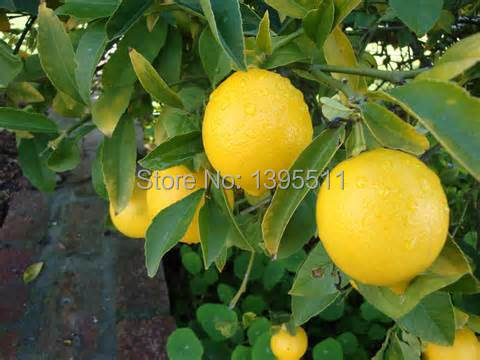 20 Lemon Tree Seeds send 200 rainbow rose seeds as gift Bonsai Fruit Tree Seeds For