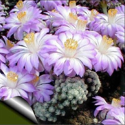 10pcs cactus Rebutia variety MIX exotic flowering color cacti rare cactus aloe seed office mini plant succulent planting(China (Mainland))