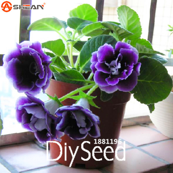 New Fresh Seeds 9 Colors Gloxinia Seeds Perennial Flowering Plants Speciosa Bonsai Balcony Flower -100Seeds/Pack,#LUTQMA(China (Mainland))