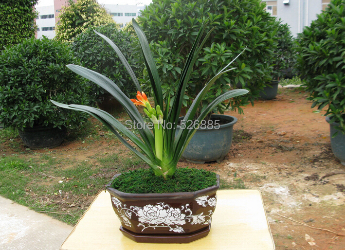 Clivia seeds free shipping cheap Clivia seeds Clivia potted seed Bonsai balcony flower 100 pcs bag