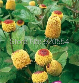 Hot selling 1 pack Spilanthes oleracea seed 30 a221 outdoor bonsai flower plant bonsai seeds DIY home garden free shipping(China (Mainland))