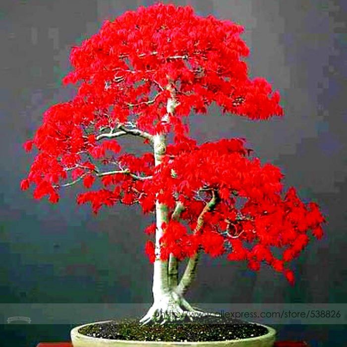 100% True Japanese Red Maple Bonsai Tree Cheap Seeds, Professional Pack, 20 Seeds / Pack, Very Beautiful Indoor Tree NF924(China (Mainland))