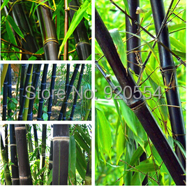 10pcs/lot Rare purple Bamboo Seeds Ornamental Bonsai potted plant DIY home garden free shipping(China (Mainland))