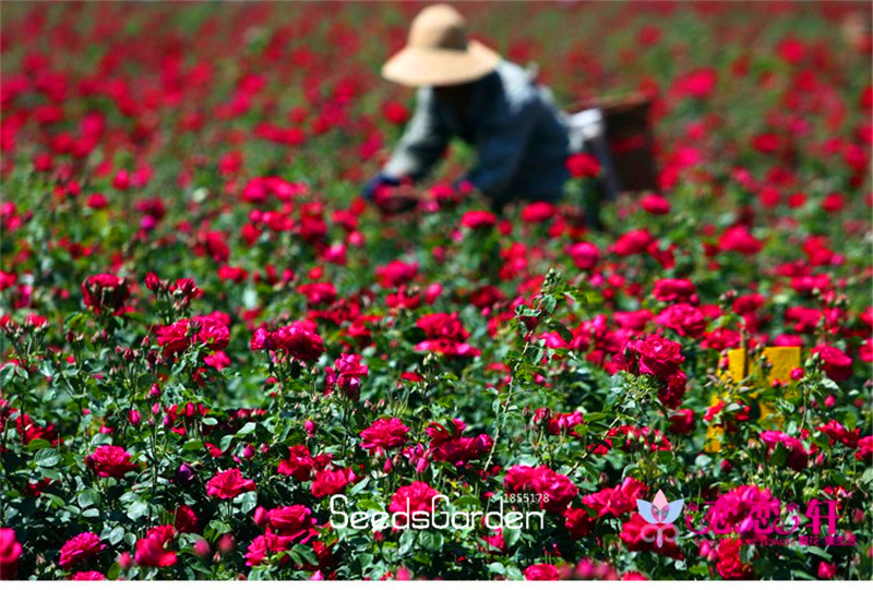 New Arrival!100 Pcs/Pack Blue and Pink Rose Seeds ,rare color ,rich aroma, DIY Home Garden Rose Plant crazy promotion,#J6M5KE