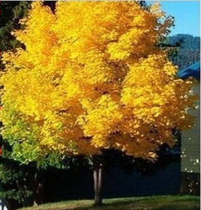 50seeds yellow maple tree live seed Home Garden Norway maple gold tree seeds good bonsai price will up soon(China (Mainland))