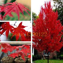 20 шт. американский красный клен семена деревьев семена клена для дома САД посадки легко расти очень редкие семена деревьев(China (Mainland))